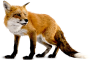 ryf:fox-png-6.png