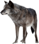 ryf:wolf-high-quality-png.png